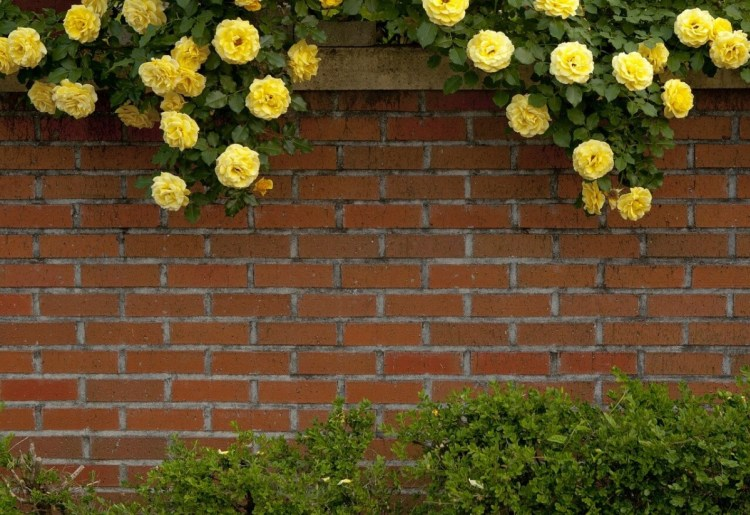 Privacy_Fence_Rose_Yellow